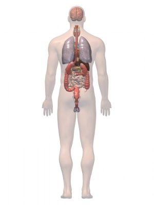 Digestion tract and Lungs 3D