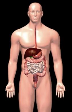Imagen tridimensional de los órganos del aparato digestivo masculino