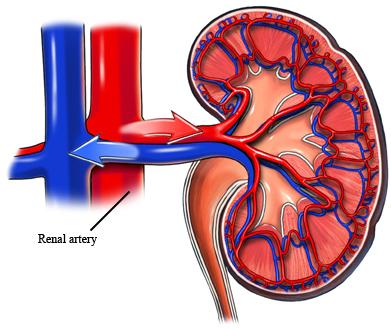 Renal Artery
