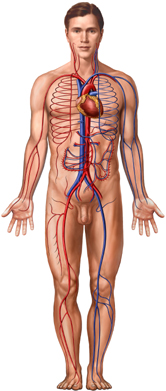 The Cardiovascular System