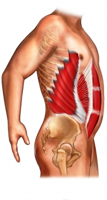 Abdominal muscle and pelvis