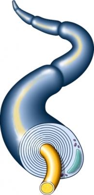 AX00010 97870 1 myelin sheath