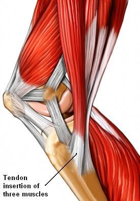 inserción muscular medial de la rodilla
