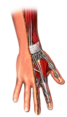 extensor tendon