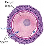 Fertilization pregnancy small image