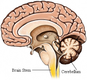 GM00010 97870 brainstem.jpg