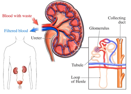 Glomerulonefritis