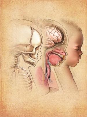 Cráneo y cerebro de un bebé