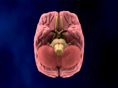Bottom view brain
