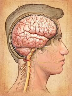 Brain nerve pathways