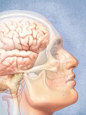 cerebro, rostro, cráneo