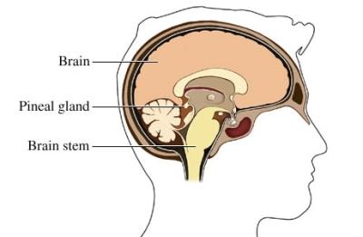 Tronco encefálico y cerebro