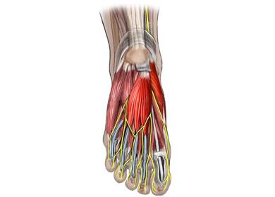 Anatomía de los nervios y músculos del pie