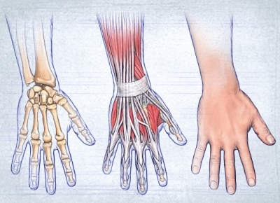Hand anatomy