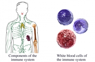 Immune system white blood cell