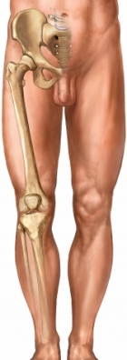 Leg bones