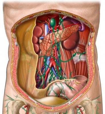 Nódulos linfáticos y vasos sanguíneos en el abdomen