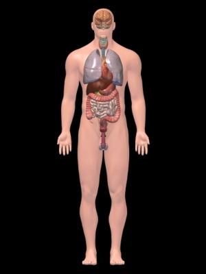 Internal organs 3D