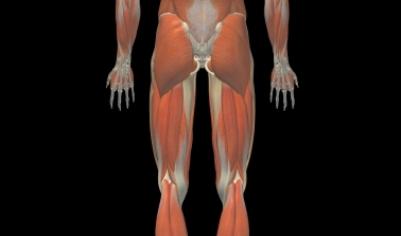 Músculos posteriores del muslo