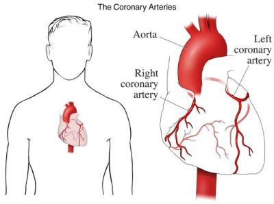 si1902 the coronary arteries