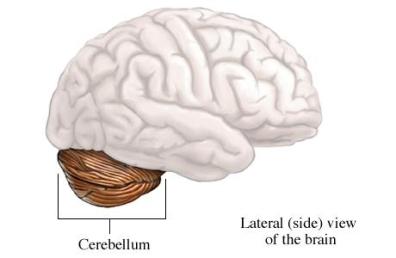 si2027 97870 1 cerebellum