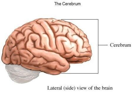 cerebrum
