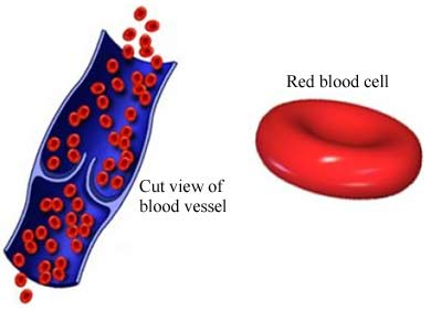 si2037 97870 1 red blood cells