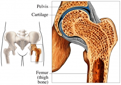 Hip cartilage