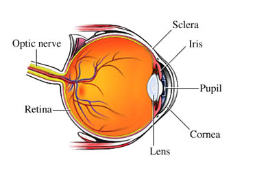 Anatom&iacute;a Normal del Ojo
