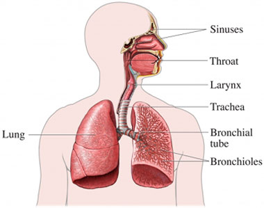 Resp pathway with sinus