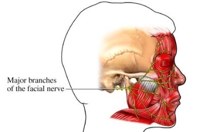 si55551125 96472 1 facial nerve innervation.jpg