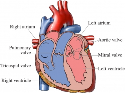 anatom&iacute;a del coraz&oacute;n