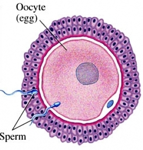 Fertilization Fallopian Tubes Conception