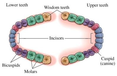 si55551348 97870 1 wisdom teeth