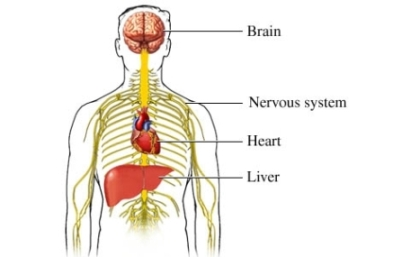 Alcohol damaged organs right size