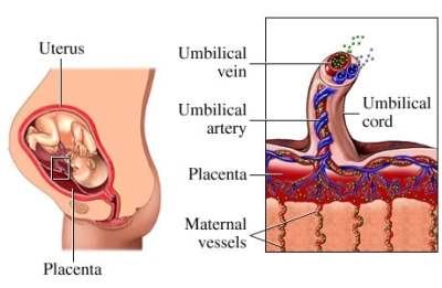 Funci&oacute;n de la placenta