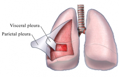 Pleura de los Pulmones