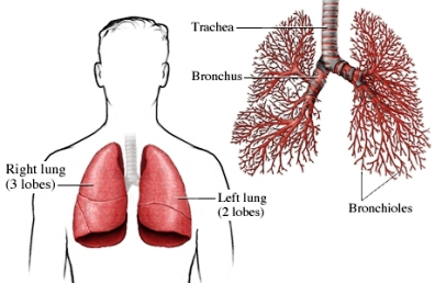 pulmones y bronquiolos