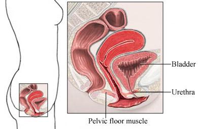Músculos y órganos de la base pélvica