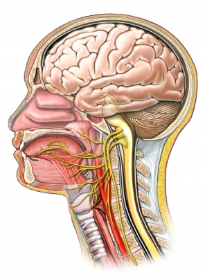 Tongue Innervation