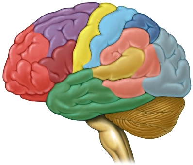 Segmentos del cerebro coloreados