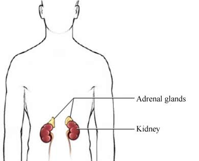 Adrenal Kidney