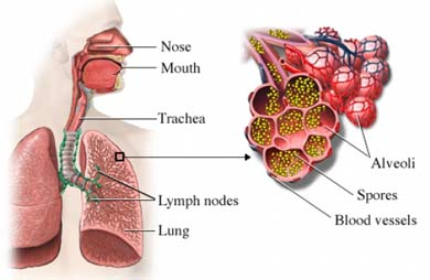 Spores in lungs