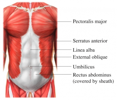Trunk Core Muscles